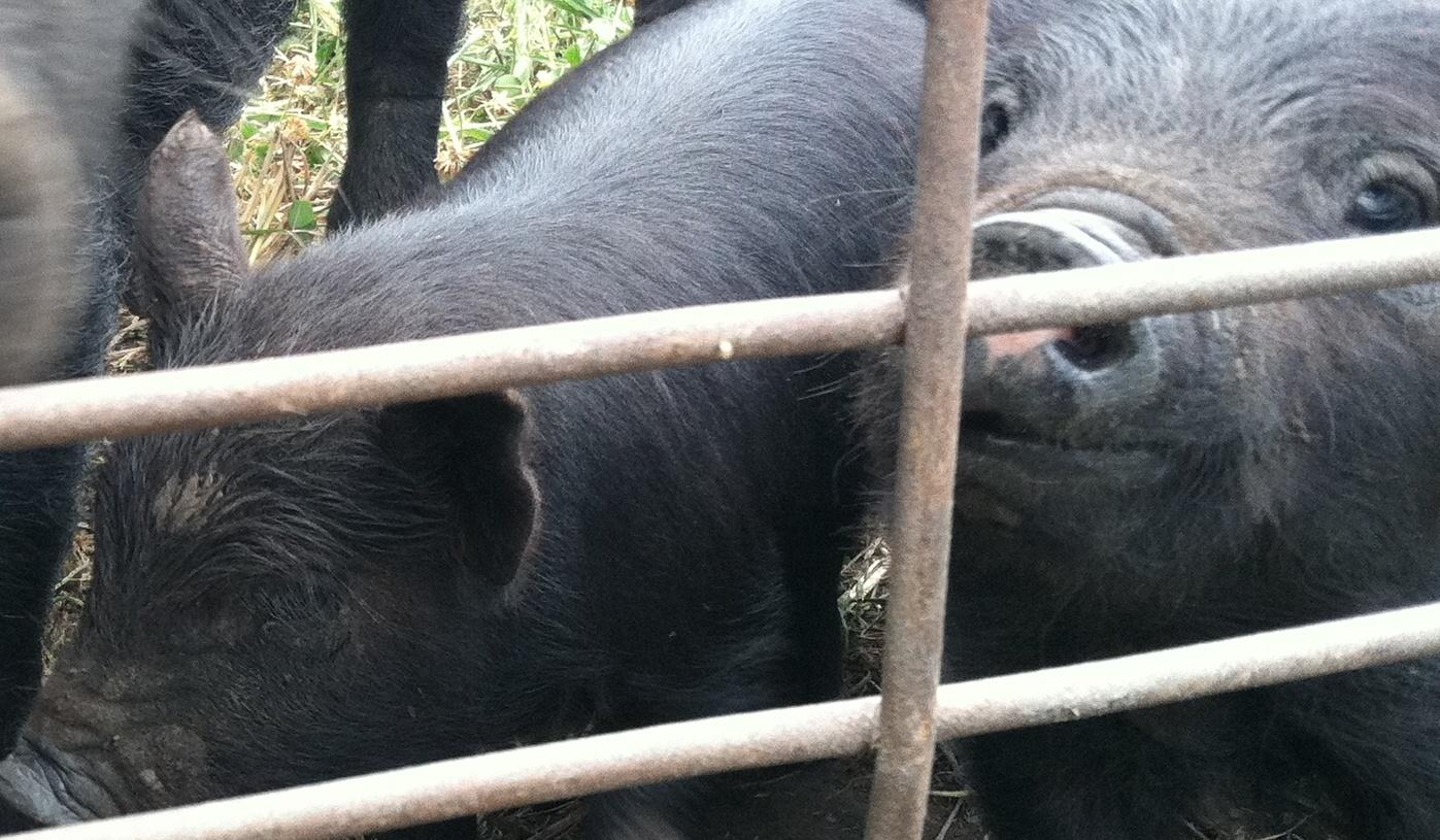 Piglets for Website